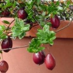 Nam việt quất   loại thảo dược có thể chữa được nhiều bệnh nan y