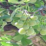 Thành phần dược tính và tác dụng chữa bệnh của cây thảo dược bạch quả