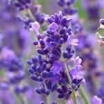Câu chuyện nguồn gốc xuất xứ của loài hoa oải hương