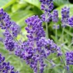Hoa Oải Hương và câu chuyện về loài thảo dược quý của nhân loại