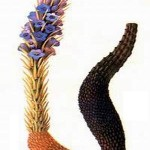 Nhục thung dung: Loại thảo dược dành riêng cho giới mày râu