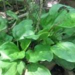 Cây Mã Đề   Cây thảo dược dùng để chữa sỏi thận, viêm đường tiết niệu hiệu quả