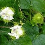 Quả chùm bao (Lạc Tiên)   Loại thảo dược rất dễ tìm từ thiên nhiên