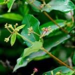 Hà thủ ô: Loại thảo dược cực tốt cho phụ nữ