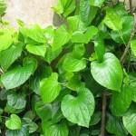 Lá lốt   Loại thảo dược, loại rau nên có trong nhà bạn