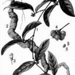 Ba Kích Tím   Loại thảo dược giúp bổ thận tráng dương cho nam giới