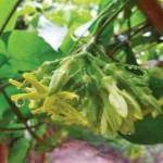 Hoa thiên lý: Không chỉ làm rau ăn mà còn là vị thuốc cực bổ