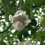 Cây thảo dược Bao Bắp (Cây nghìn năm) trị sốt cách nhật hiệu quả