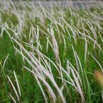 Rễ cây thảo dược cỏ tranh rất lợi tiểu và mát gan
