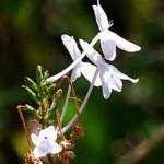 Thảo dược Tu Lình (Hoàn Ngọc)   Cây thuốc chữa nhiều bệnh