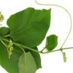 Một số lợi ích chữa bệnh của cây thảo dược chìa vôi