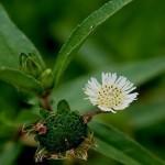 Những bài thuốc chữa bệnh rất hay từ cây cỏ mực theo dân gian