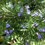 Mùi hương Hương Thảo giúp tăng cường trí nhớ rất tốt