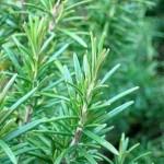 Những dược tính có lợi từ cây thảo dược hương thảo